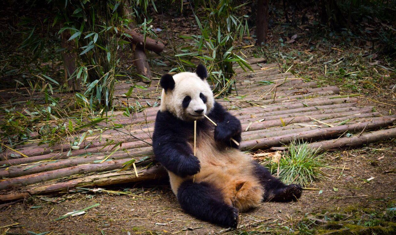 One Animal Animal Themes Giant Panda Bear Panda - Animal Mammal Outdoors Bamboo - Plant No People Nature Panda Day Chengdu China