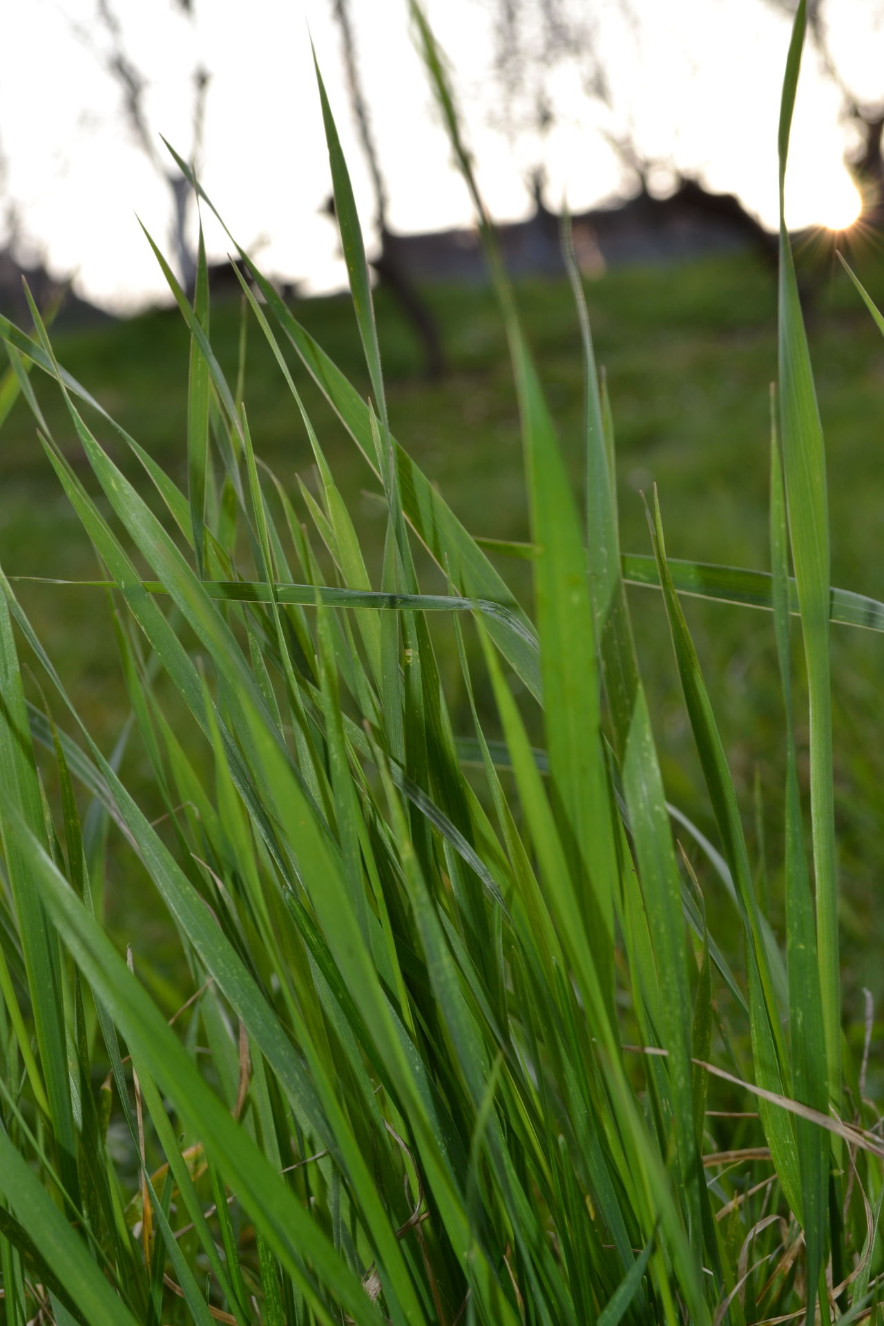 Growth Agriculture Nature Rural Scene Farm Close-up Green Color Cereal Plant Field Plant Outdoors No People Day Beauty In Nature Sun Beauty In Nature Plant Nature Relaxation Time To Relax Grass Grass Area Grassy Grass Photography Grassfield