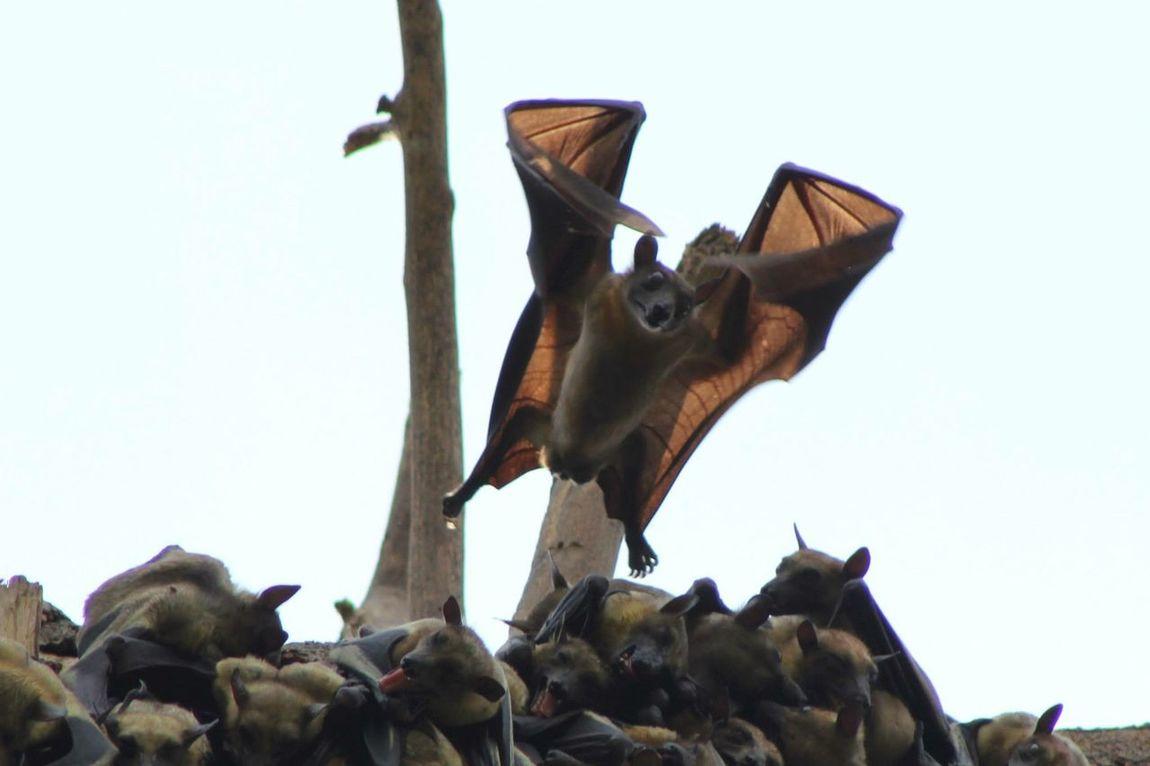 Capture The Momentment Batman Bat Fledermaus Wildlife Wildlife & Nature