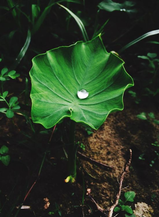 In the morning when i awake i capture a beautiful view of nature. We can say maturity has no age. Same like small colocasia leaf shows a water drop into a pearls. Men Growth Plant Petal Leaf Nature Flower Fragility Freshness Beauty In Nature Outdoors No People Flower Head Day Green Color Close-up Blooming Periwinkle