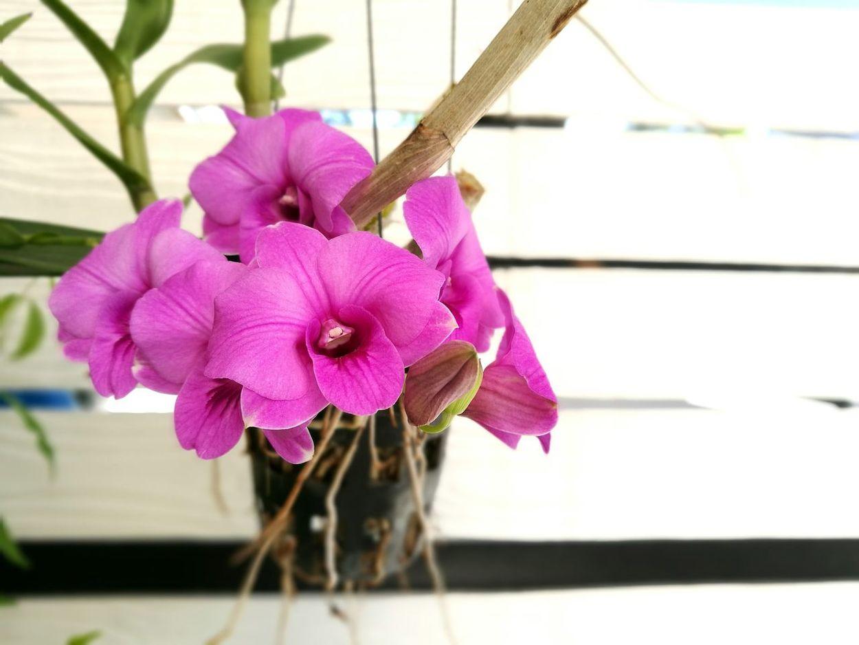 กล้วยไม้ที่บ้าน Flower Freshness Fragility Petal Close-up Flower Head Stem Pink Color Beauty In Nature Growth Season  Nature Selective Focus Focus On Foreground Springtime Plant Single Flower Pink Botany Day