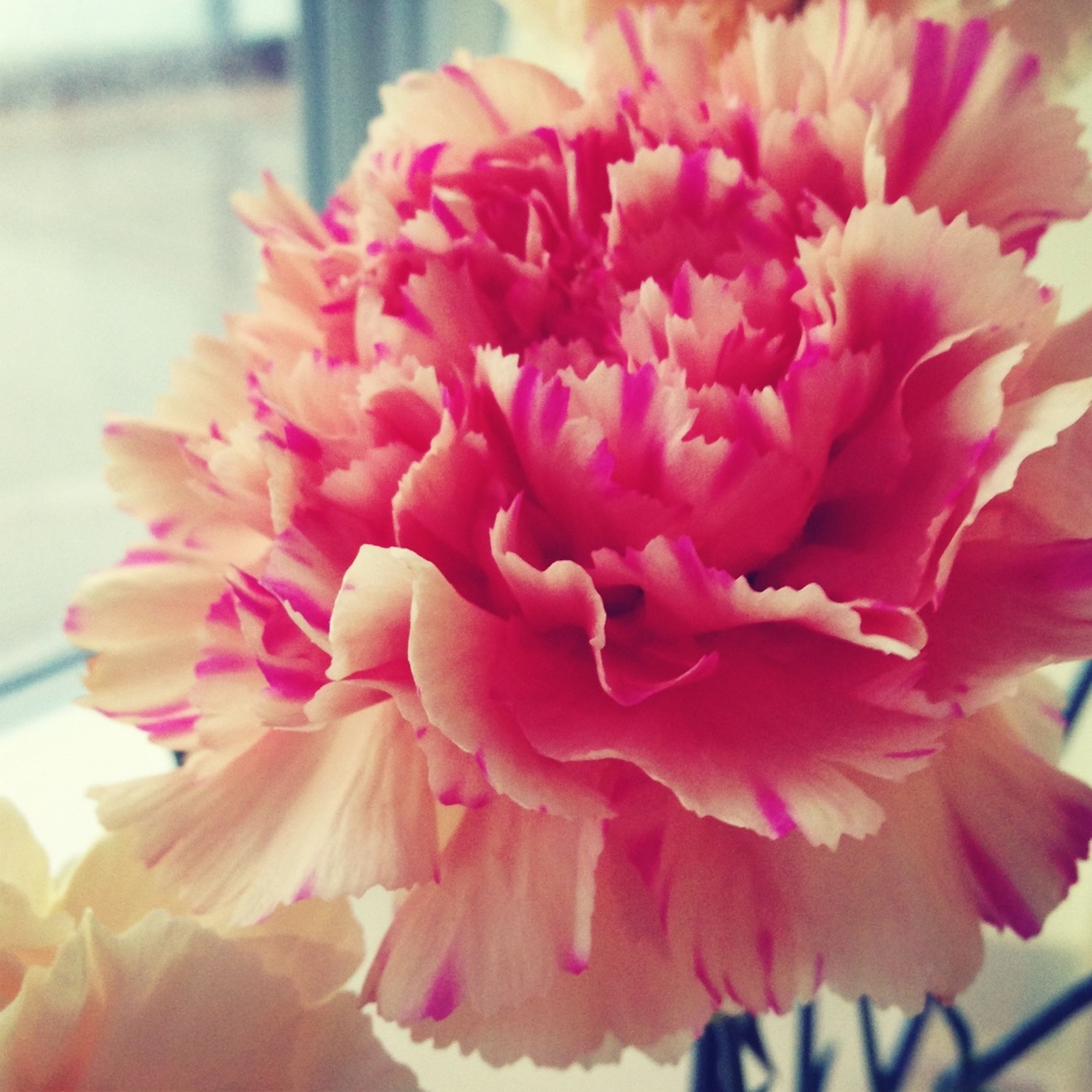 flower, petal, freshness, flower head, fragility, close-up, beauty in nature, pink color, growth, focus on foreground, nature, blooming, indoors, single flower, pink, plant, in bloom, blossom, rose - flower, no people