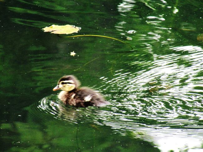 Nature On Your Doorstep Creative Light And Shadow Ducks Ducks In Water Baby Birds Baby Animals Baby Duck Spring Birds