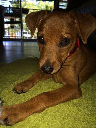 Sira ❤️❤️❤️ Puppy Dogs Pet Photography  Relaxing Minidobermanpinscher Minidoberman