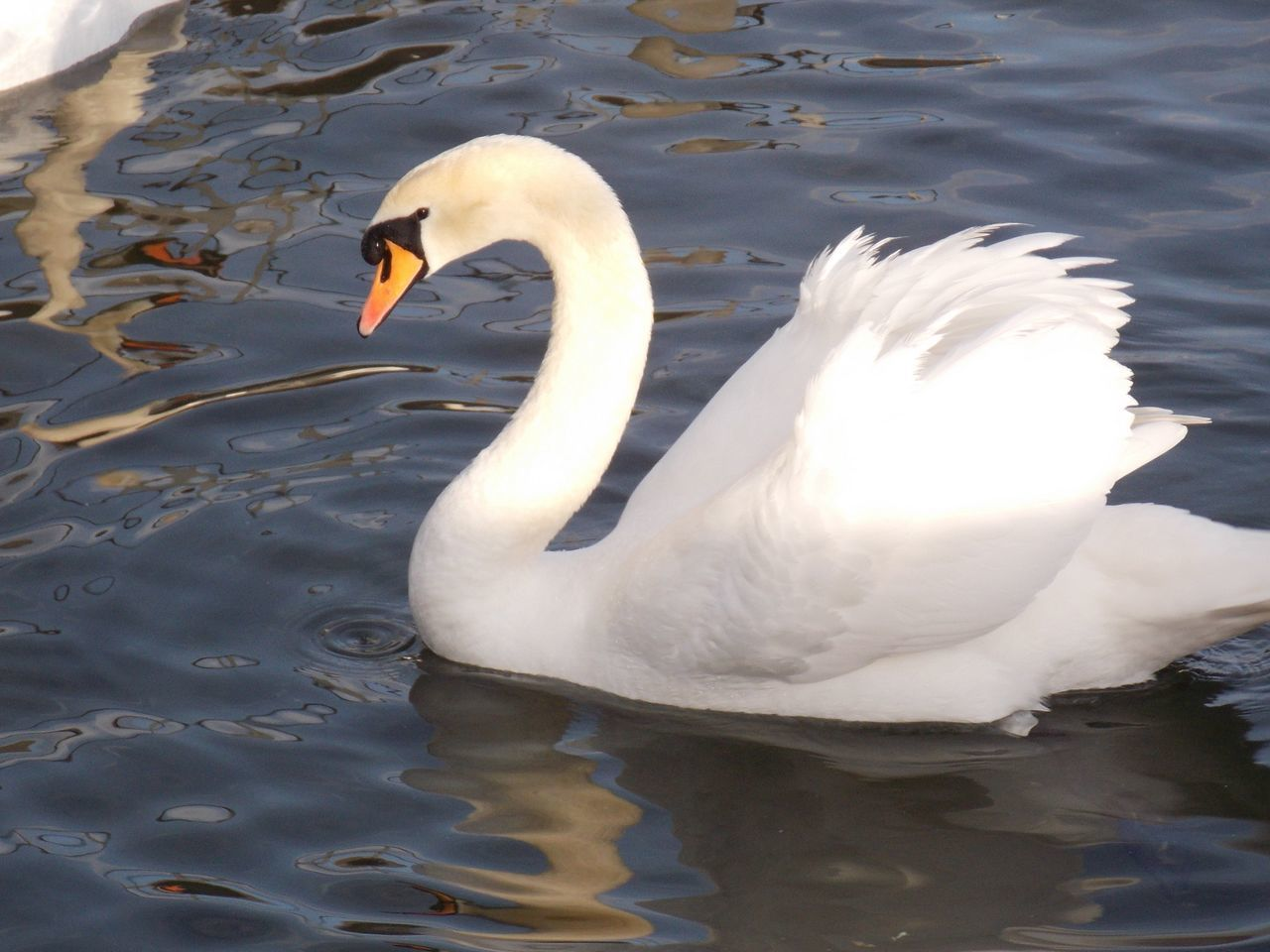 lake, swan, animal themes, animals in the wild, one animal, white color, water, bird, swimming, water bird, animal wildlife, no people, day, waterfront, nature, beak, outdoors, close-up