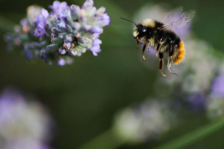 Macro Canon 70d Bee