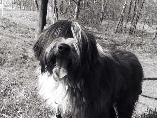 bearded collie by mATi