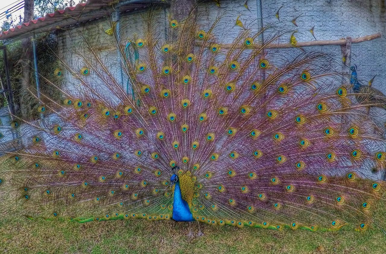 Peacock Peacock Blue Peacock Feather Peacock Tail Peacock Colors Peacockphotos Peacock ! Peacock Feathers Gopro Goprohero5black Goprohero5 GoPrography HDR Hdr_Collection Hdrphotography HDR Collection HDR Streetphotography HDRphoto Hdr Edit Hdr_captures Hdr Photography