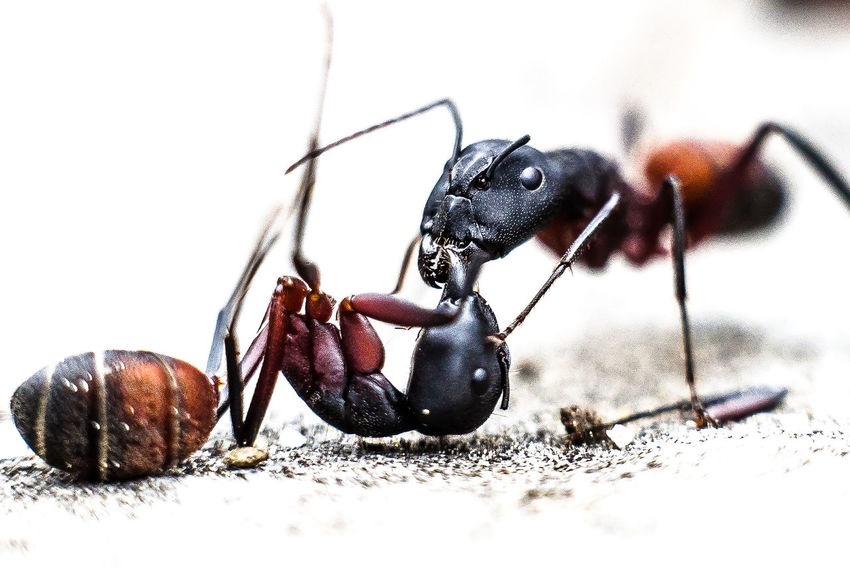 Aggression  Aggressive Amputation Animal Themes Animals In The Wild Big Ants Close-up Day Fight Fighting Insect Nature No People Outdoors SPAIN The Great Outdoors - 2017 EyeEm Awards Two Animals Monster 2cm Length Ant Ants Amputee BYOPaper!