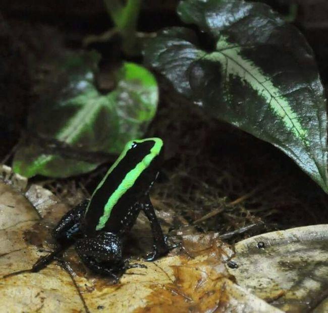 NCMuseumOfNaturalSciences Greenfrog Frogs Nature