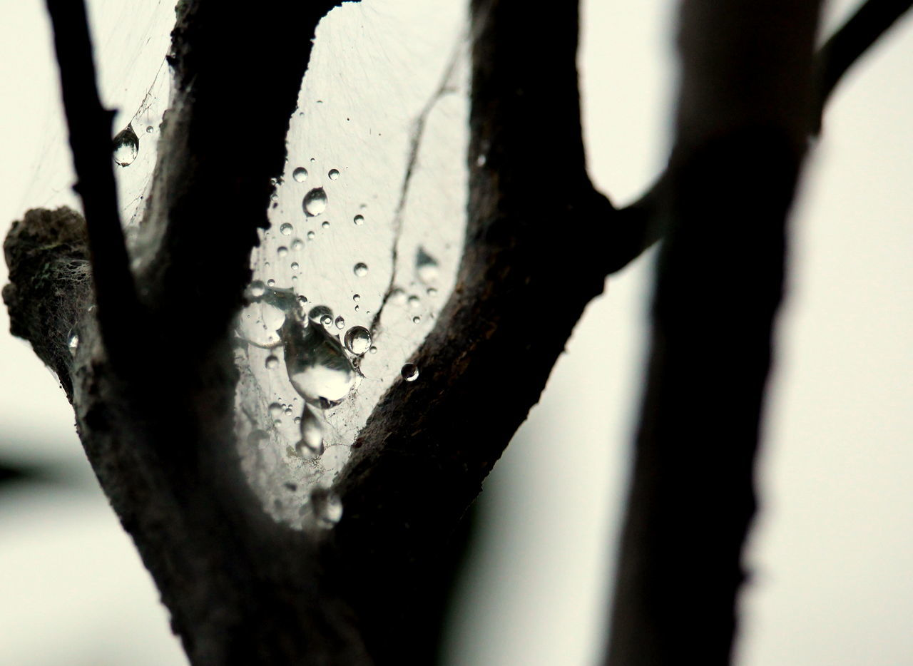 After Rain... Close-up Fragility Of Nature Maximum Closeness Raindrops In Tree Textured  Water Webs And Drops