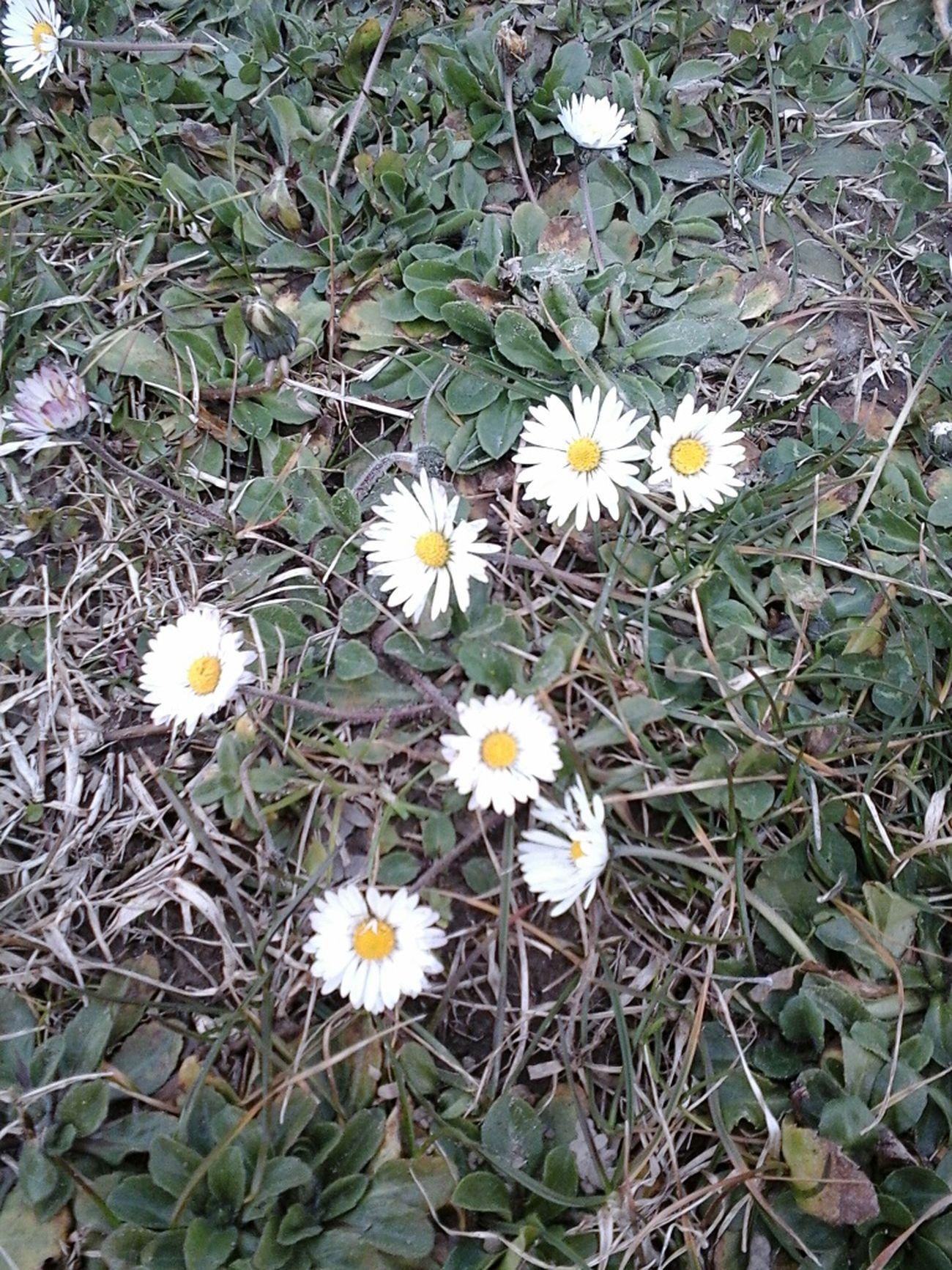 Paquerettes Flowers