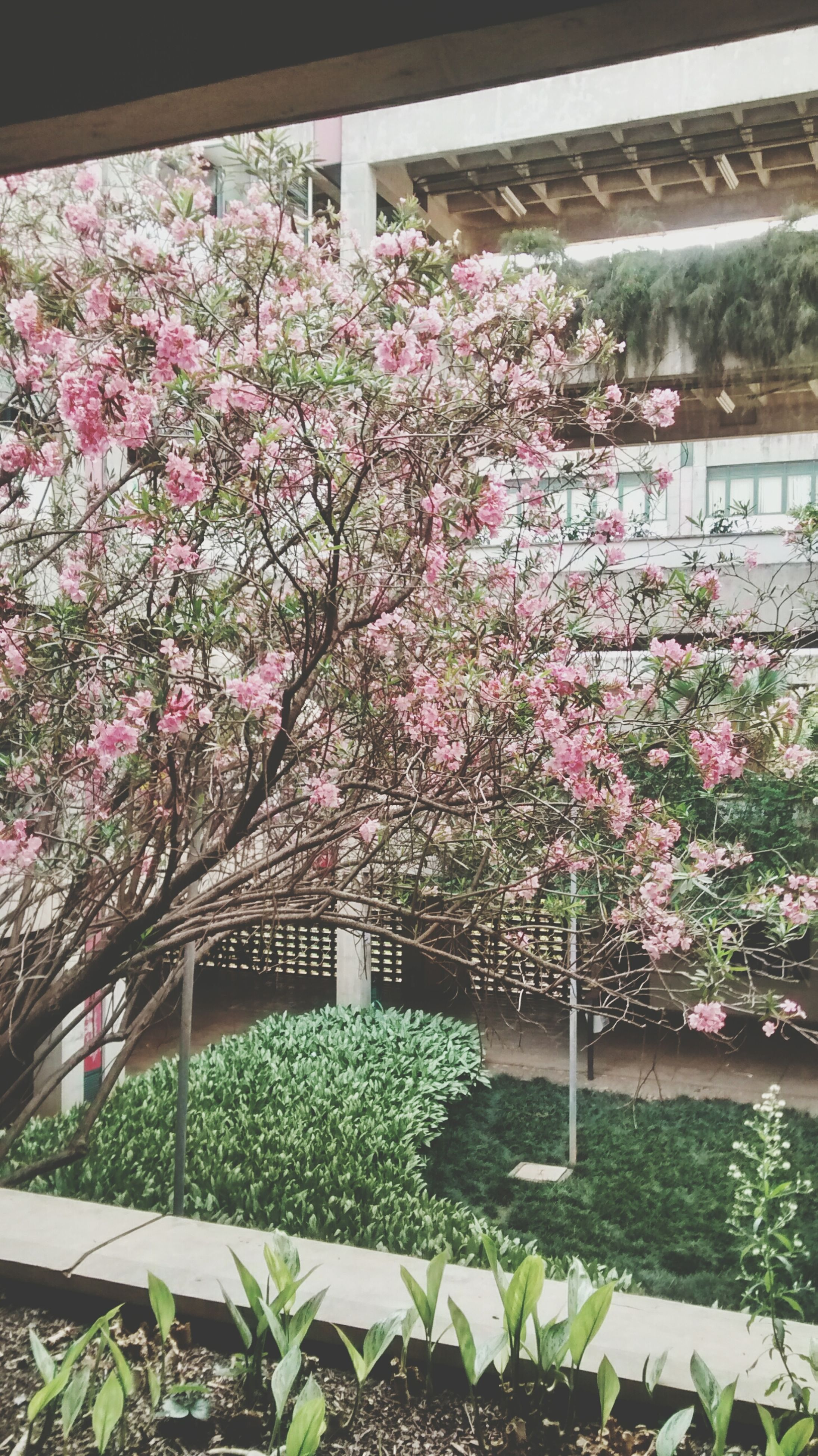 flower, freshness, growth, fragility, pink color, plant, built structure, beauty in nature, blossom, architecture, blooming, in bloom, nature, building exterior, petal, tree, leaf, springtime, day, railing