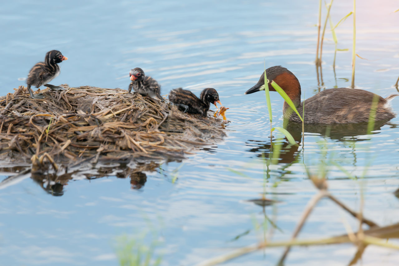 Little grebe ( Tachaybaptus ruficollis ) feeding baby with orange dragonfly on floating nest. Juvenile ducks and parent in lake habitat. Dragonfly Ducks Family Father Day Feeding The Birds Floating Nest Grebe Bird Juvenile Birds Lakeshore Love Concept Mother Day