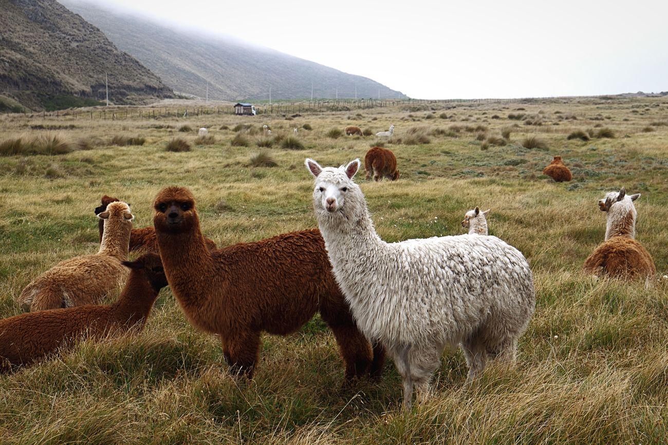 Beautiful stock photos of meadow, Alertness, Alpaca, Animal Themes, Beauty In Nature
