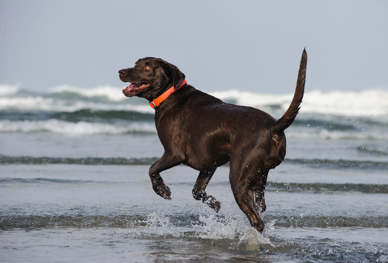 Beautiful stock photos of schokolade,  Beach,  Beauty In Nature,  Black Color,  Canine