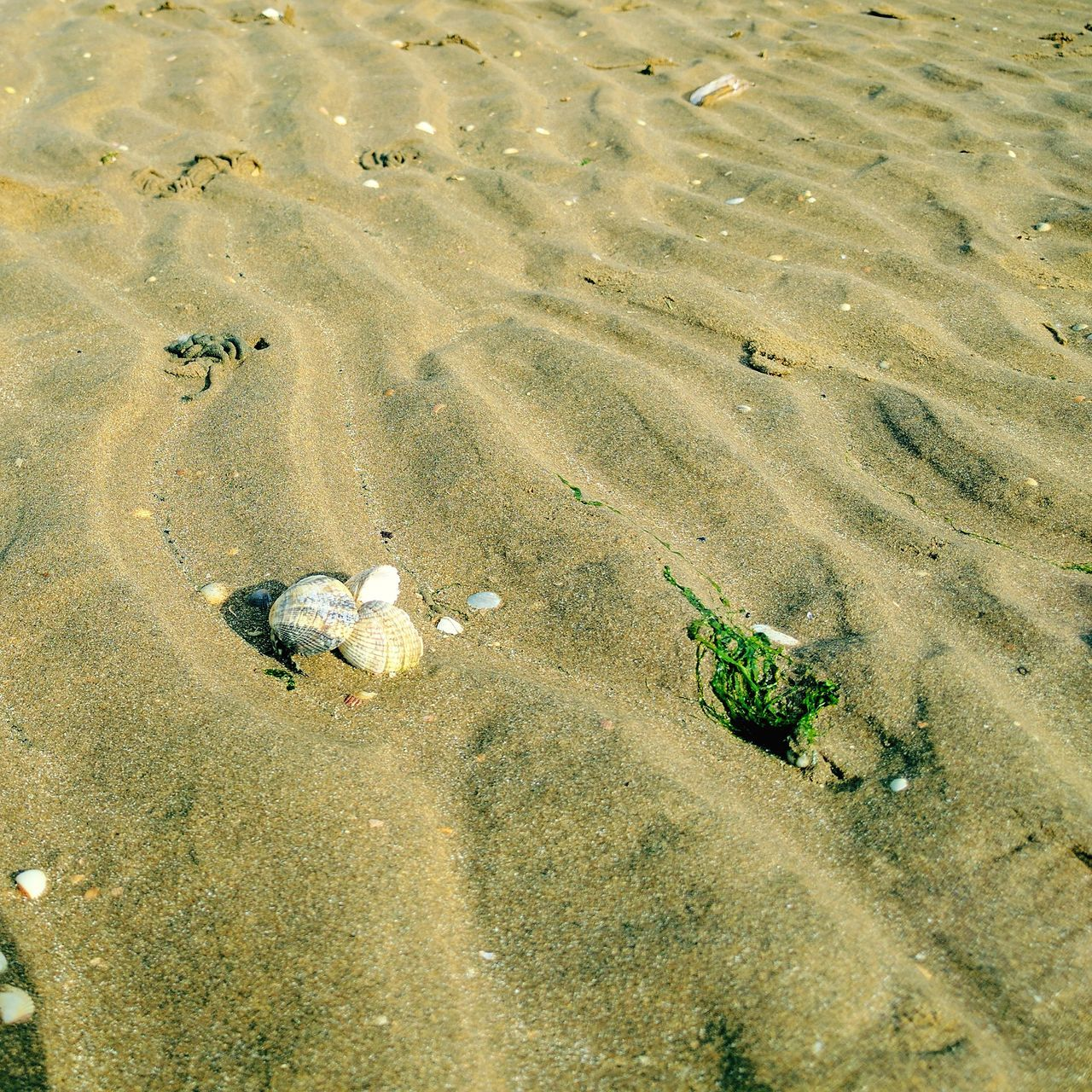 Shell Trio Beach Sand High Angle View Backgrounds Outdoors Nature Day Pattern No People Sea Water Beauty In Nature Sand Dune Shells Seaweed British Beaches