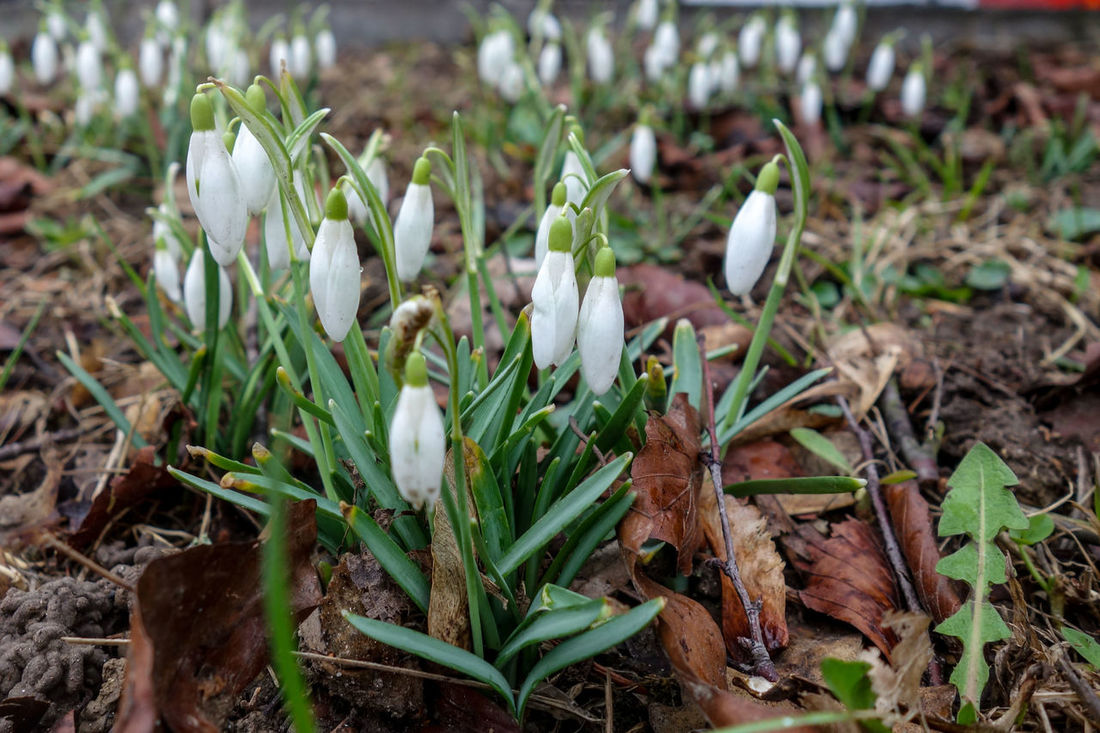 Beauty In Nature Early Bloom Early Bloomer Flower Head Fragility Freshness Frühblüher Green Color Growth Nature Plant Schneeglöcken Snowdrop Spring Spring Time White Color
