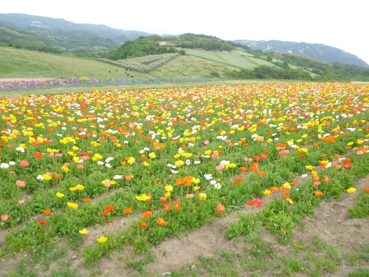 View Of Multi Colored Flowers Growing In Field