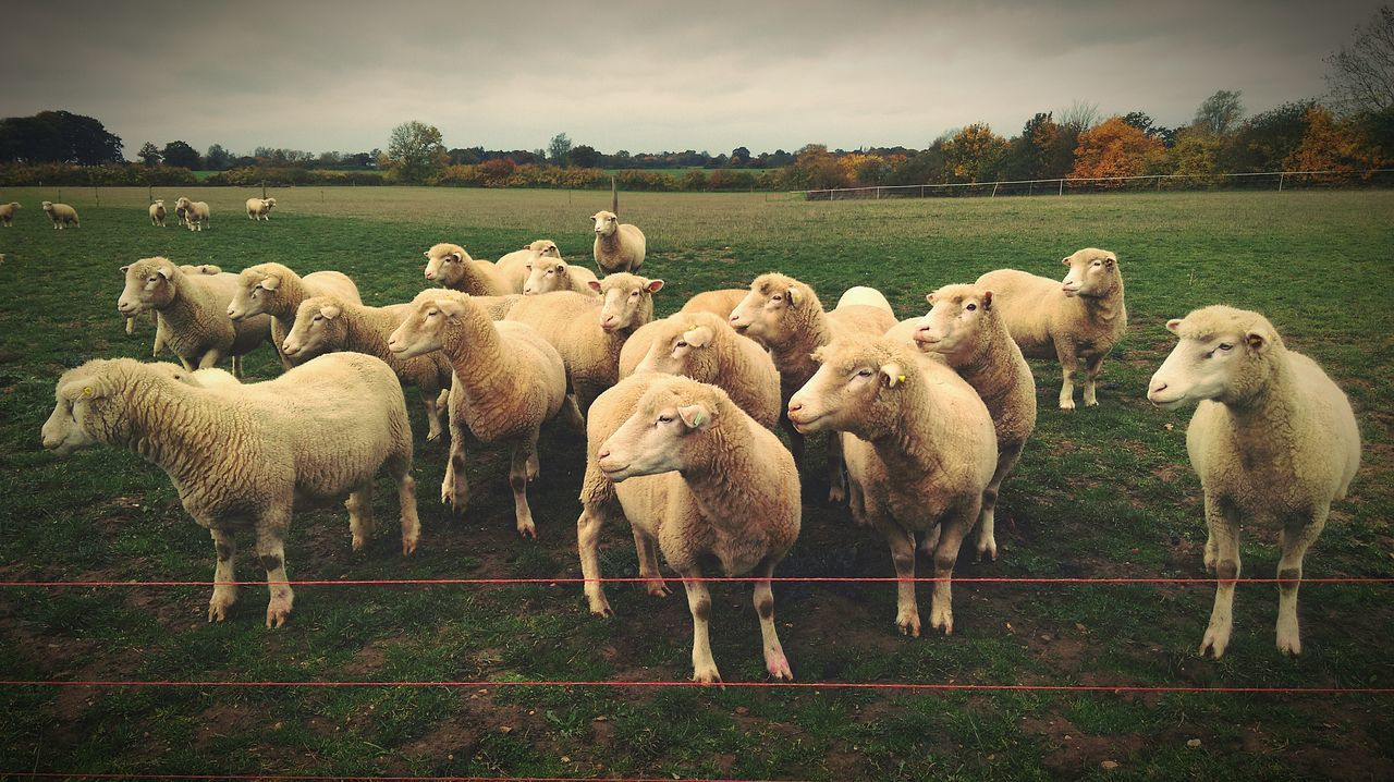 📷Oi, over here!!📷 Phone Photography What You Looking At? Sheep Livestock Farm Animals On The Farm Animals Wrong Direction In The Field Nature Nature Photography EyeEm Nature Lover United Kingdom HTC One