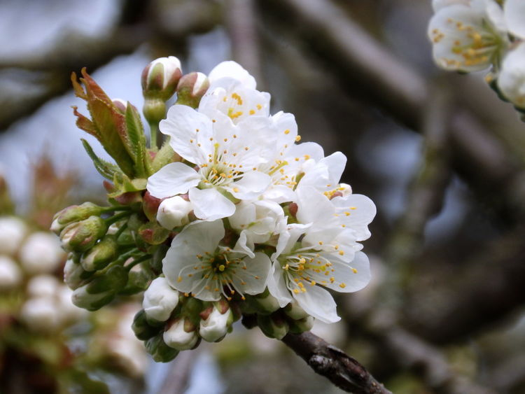 Kirschblüte Kirschblüten  Apple Blossom Beauty In Nature Blossom Branch Close-up Day Flower Flower Head Focus On Foreground Fragility Freshness Growth Kirschbaum Kirsche Nature No People Outdoors Petal Springtime Tree Twig White Color EyeEmNewHere