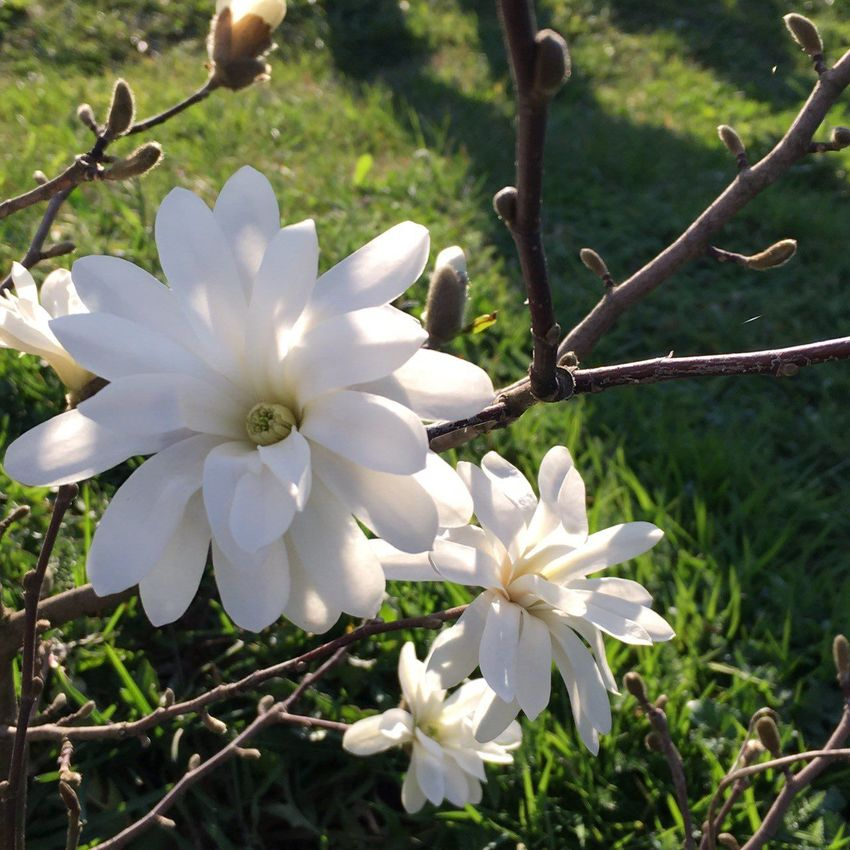 Bosnia and Herzegovina Beauty In Nature Beauty In Nature Beauty Of Flowers Blooming Blossom EyeEm Best Shots EyeEm Gallery EyeEm Nature Lover Flower Focus On Foreground Freshness Growth In Bloom Magnolia Flower Magnolia Tree Magnolia_Blossom Magnolias My View This Morning.. Nature Nature Photography Naturelovers Park - Man Made Space Plant White White Color