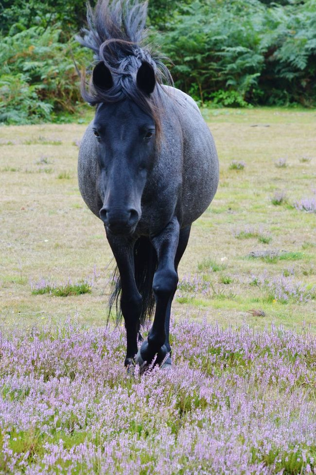 New Forest New Forest Pony Horse Photography  Horse Wild Horse Equine Equinephotography Animal Themes Animal Photography Animals In The Wild Heather Wildlife Photography Wildlife & Nature