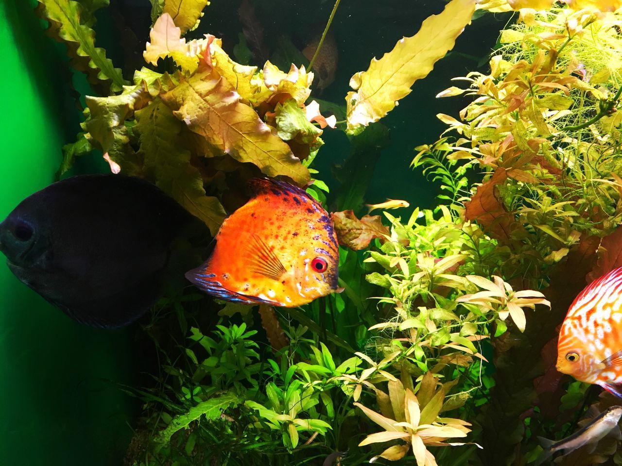 fish, animal themes, nature, green color, plant, no people, leaf, swimming, water, sea life, one animal, animals in the wild, beauty in nature, underwater, close-up, goldfish, day, multi colored, outdoors, aquarium, undersea, mammal