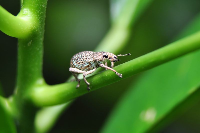 White weevil from Java Island, Indonesia Weevil Insecta Anthropoda Animal Curculionidae Macrophotography