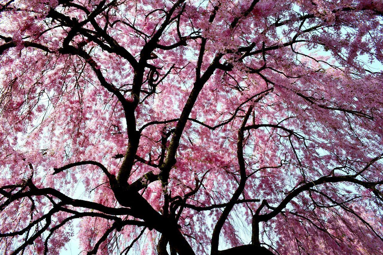 Philadelphia Fairmountpark Blooming Tree Flowering Tree Explosion Of Color Showcase April