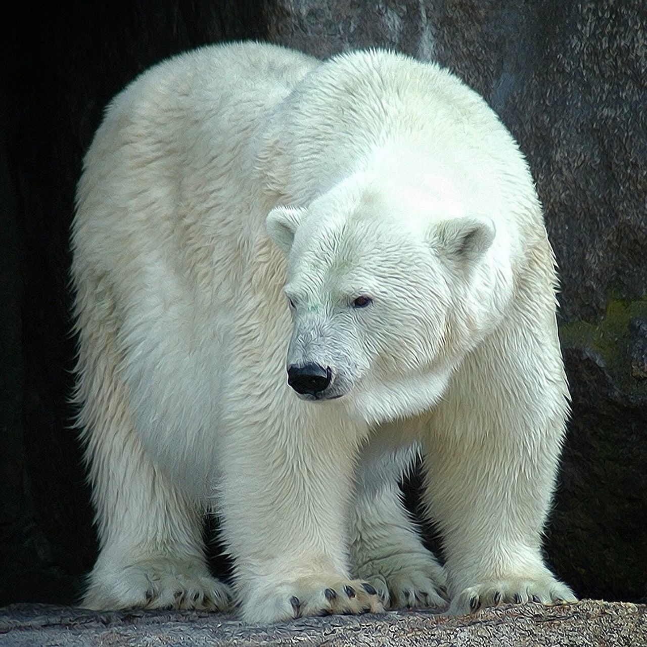 Beautiful stock photos of polar bear, Animal Themes, Day, Front View, Full Length