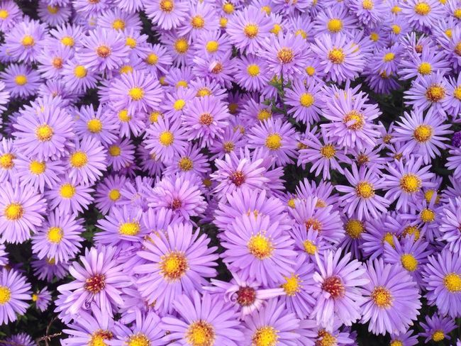 Flower Freshness Fragility Flower Head Backgrounds Full Frame Beauty In Nature Petal Growth High Angle View Daisy Close-up Nature Purple Detail Large Group Of Objects Blossom Plant Arrangement Abundance