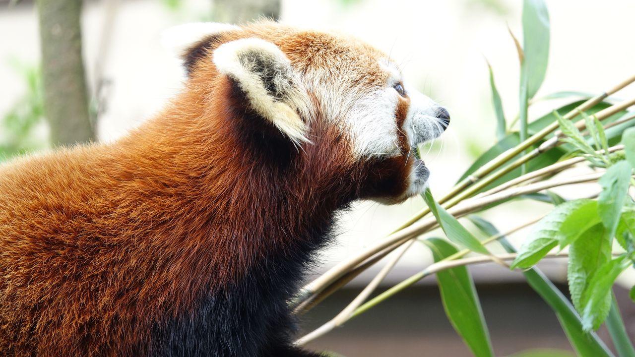 Red panda enjoying his food One Animal Animal Themes Nature Animal Wildlife Animals In The Wild Focus On Foreground Mammal Leaf Close-up Day No People Panda - Animal Outdoors Red Panda Zoo Animals  Red