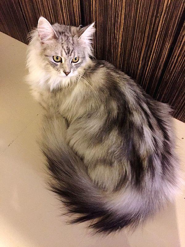 Beauty Cat Gray Cat Cat