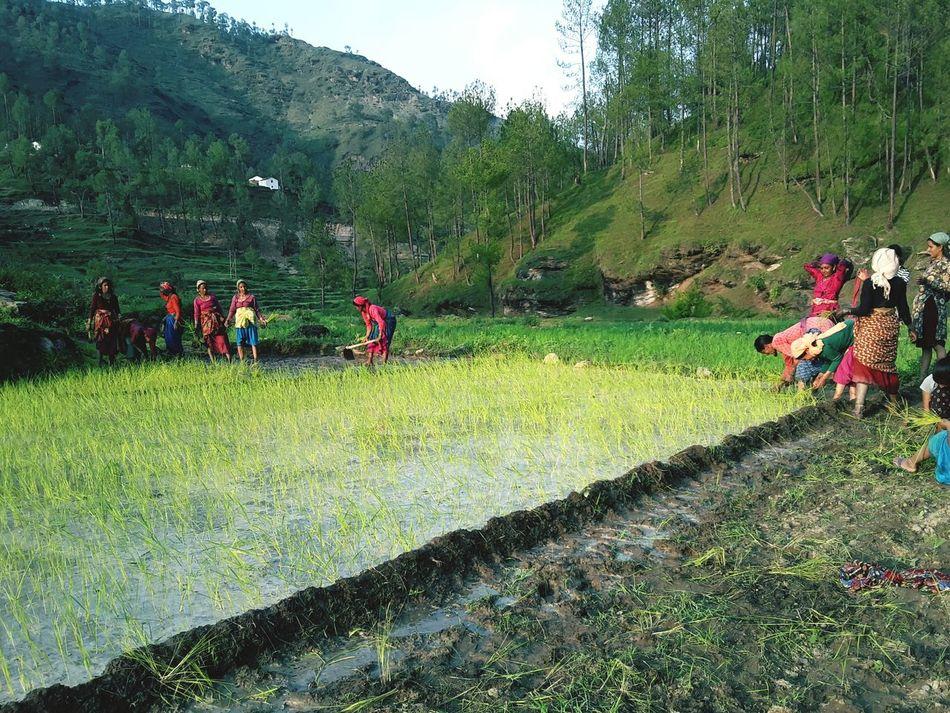 Crop Sowing kumauni uttarakhand Working Women Hard Working Village Indian Culture  India