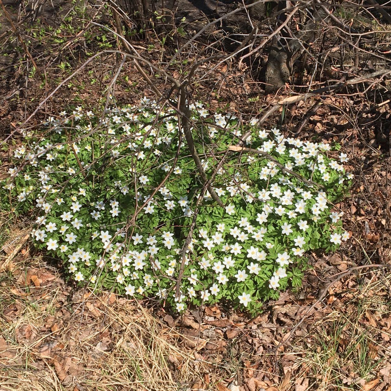 White Flower Wood Anemone Vitsippor Flowers Island