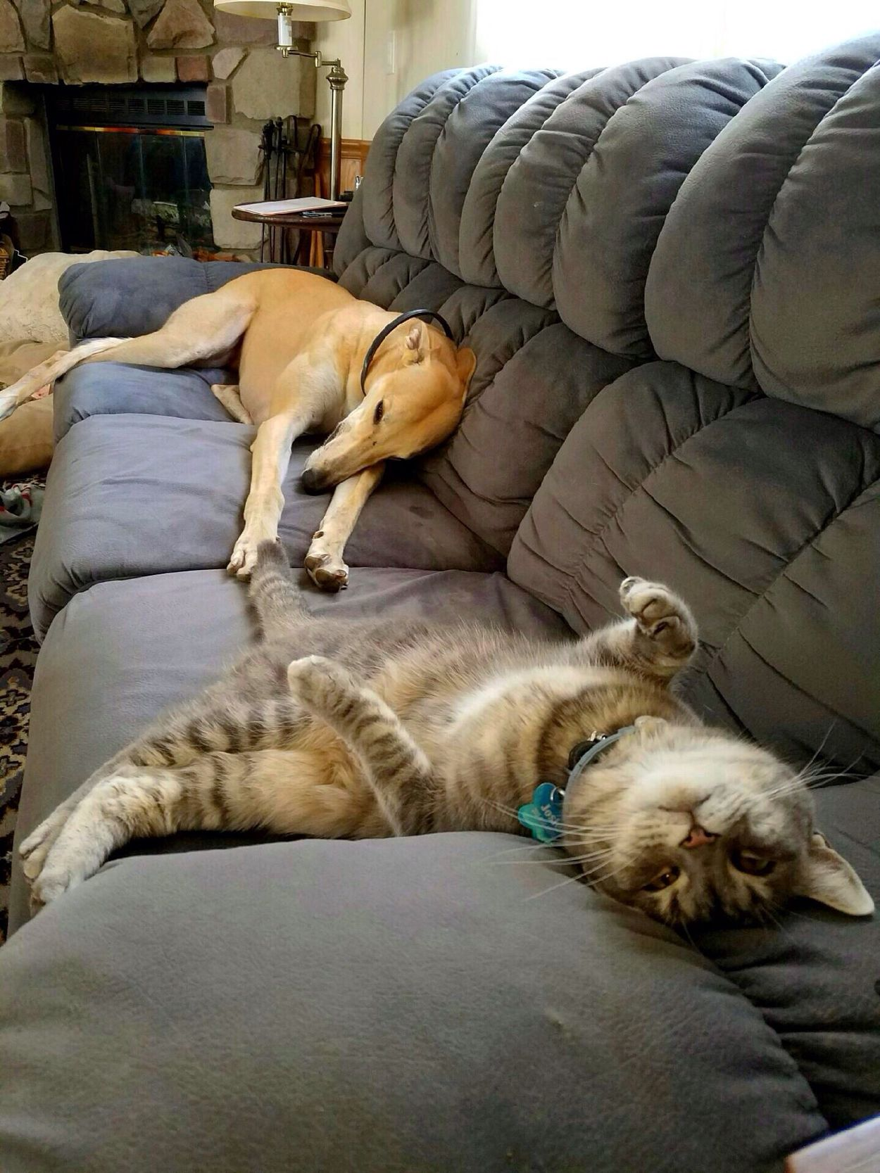 It's a Christmas miracle!!! Not only are they on the couch together, they're actually touching!!! Funny Dog Cat Service Animals Service Dog Diabeticalertdog Adopt Dont Shop AdoptDontShop Pets