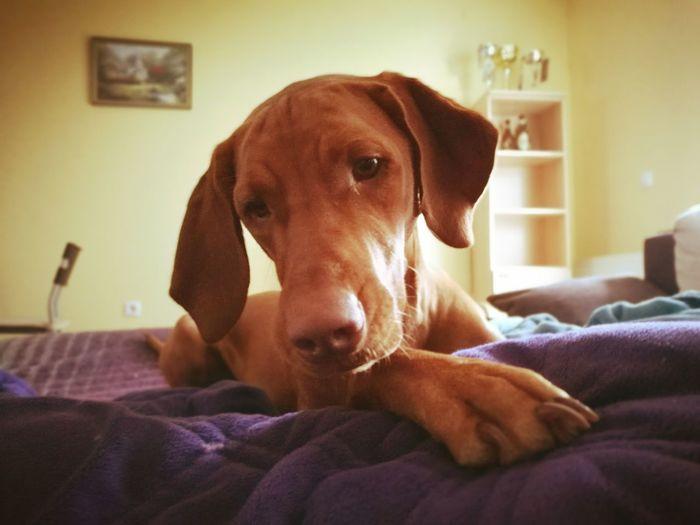 Lu Dog Dog Love Dogslife Love❤ Lu Malibu Misi Buba Piko Family❤ Pancu Malilu Vizsla Vizsla Heart Vizslalove Vizslalife Vizsla Life Dogslove