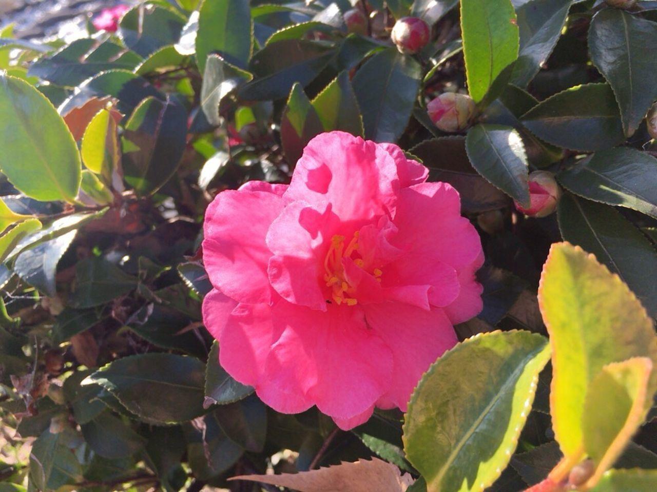 Kyoto,japan Kyoto City Camellia Sasanqua