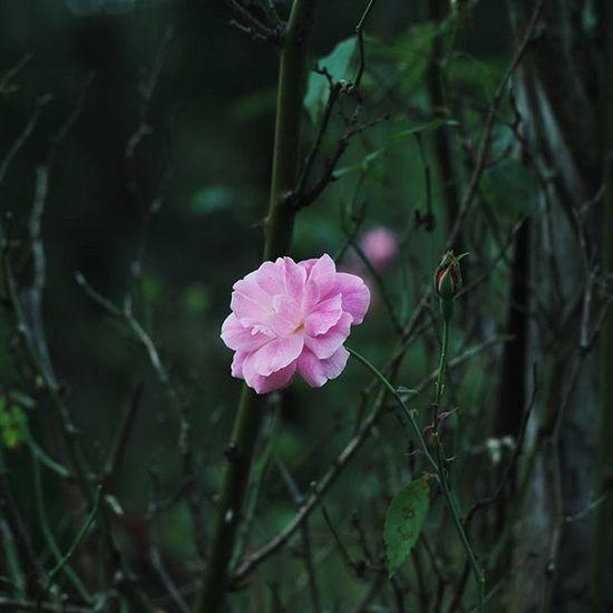 | 🌹 🍃 👆 | _______________________________ N: Mệt mỏi quá thì làm sao !?! N: Ngắm hoa ! _______________________________ VSCO Vscocam Vscovietnam Vscoflowers Flower Vietnam Dalat Streetphotography Street Rosé Country Countryside Park Green Pink Fresh Plant Morning Road Love Cool Photooftheday Photos Tb View ontheroad nature fresh instadaily instagood instamood