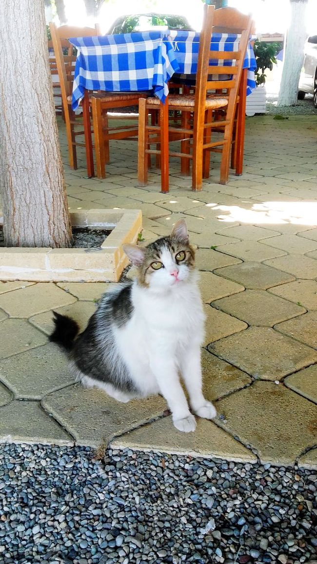 Fresh Greece Cat Lovers Cute AF Cats Kittens Cat Cats 🐱 Cats Cats Cats Kitty Pussycat Cute Cats Likeforlike Like4like Cat♡ Catlovers Cats Eyes Fresh AF Aidipsos Blue And White Blue White