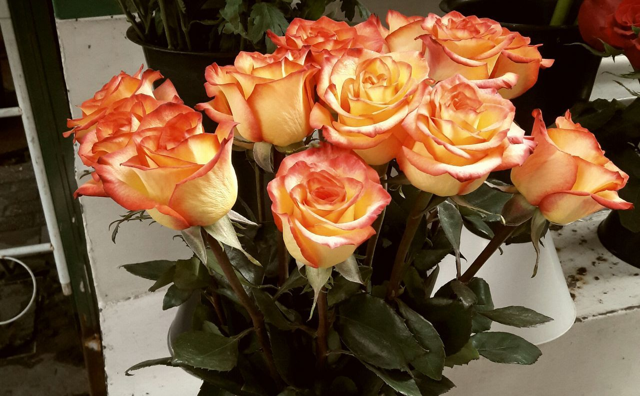 Nature Plant Close-up No People Freshness Beauty In Nature Fragility Outdoors Day Rose Petals Roses Rose🌹 Flower Collection Flowers Orange Color Orange Flower Orange Flowers EyeEm Gallery EyeEm Nature Lover EyeEm Best Shots Flower EyeEm Springtime Rose - Flower Roses Flowers