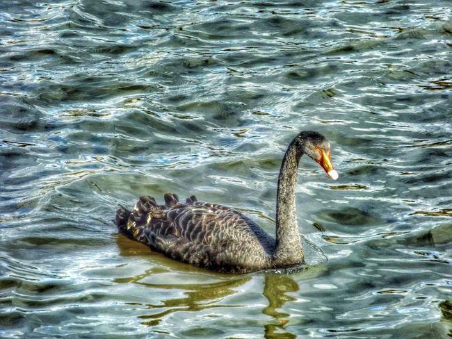 HDR Drama Filter Bird Photography Bird Water Reflections