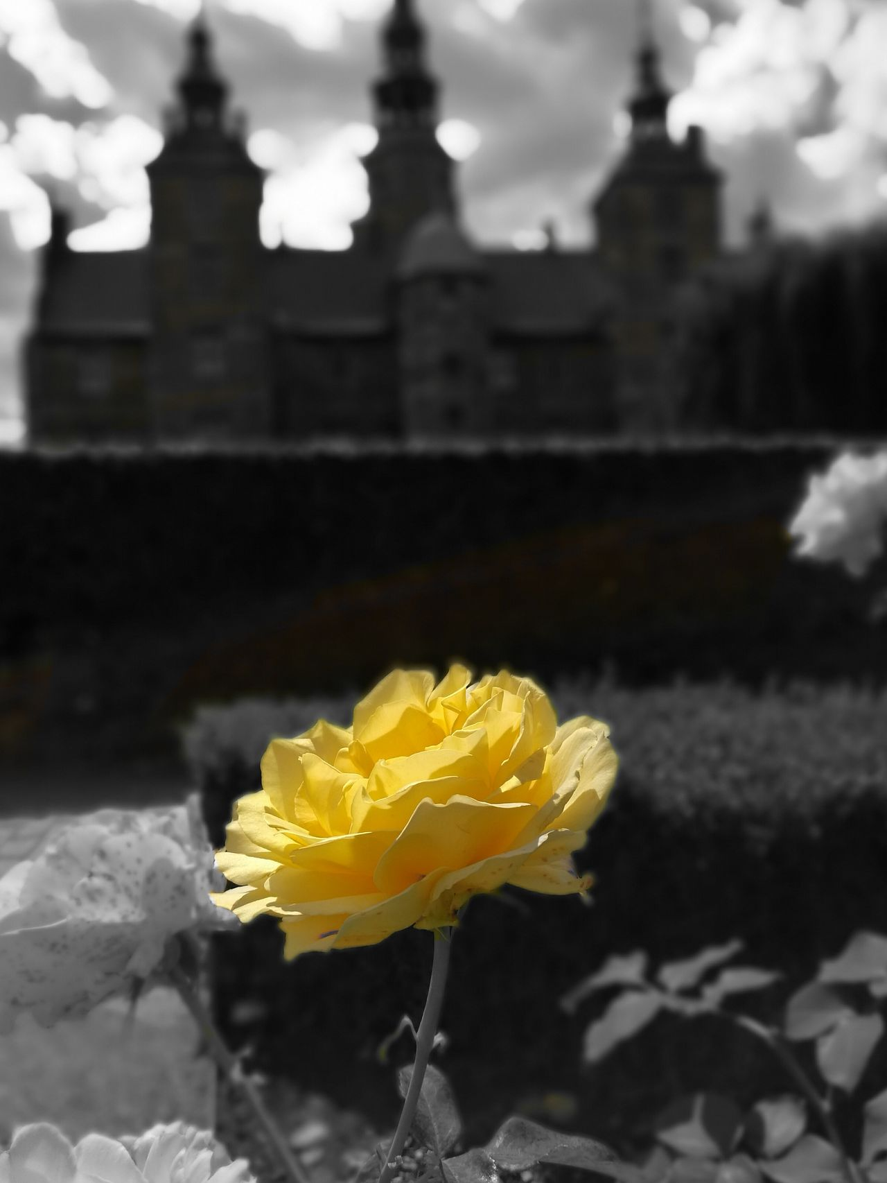 Rosenborg castle Huaweiphotography HuaweiP9 The 00 Mission Kings Garden Kings Garden Copenhagen Roses Rosé Yellow Flower Yellow Rose Blackandwhite Rosenborg Slot