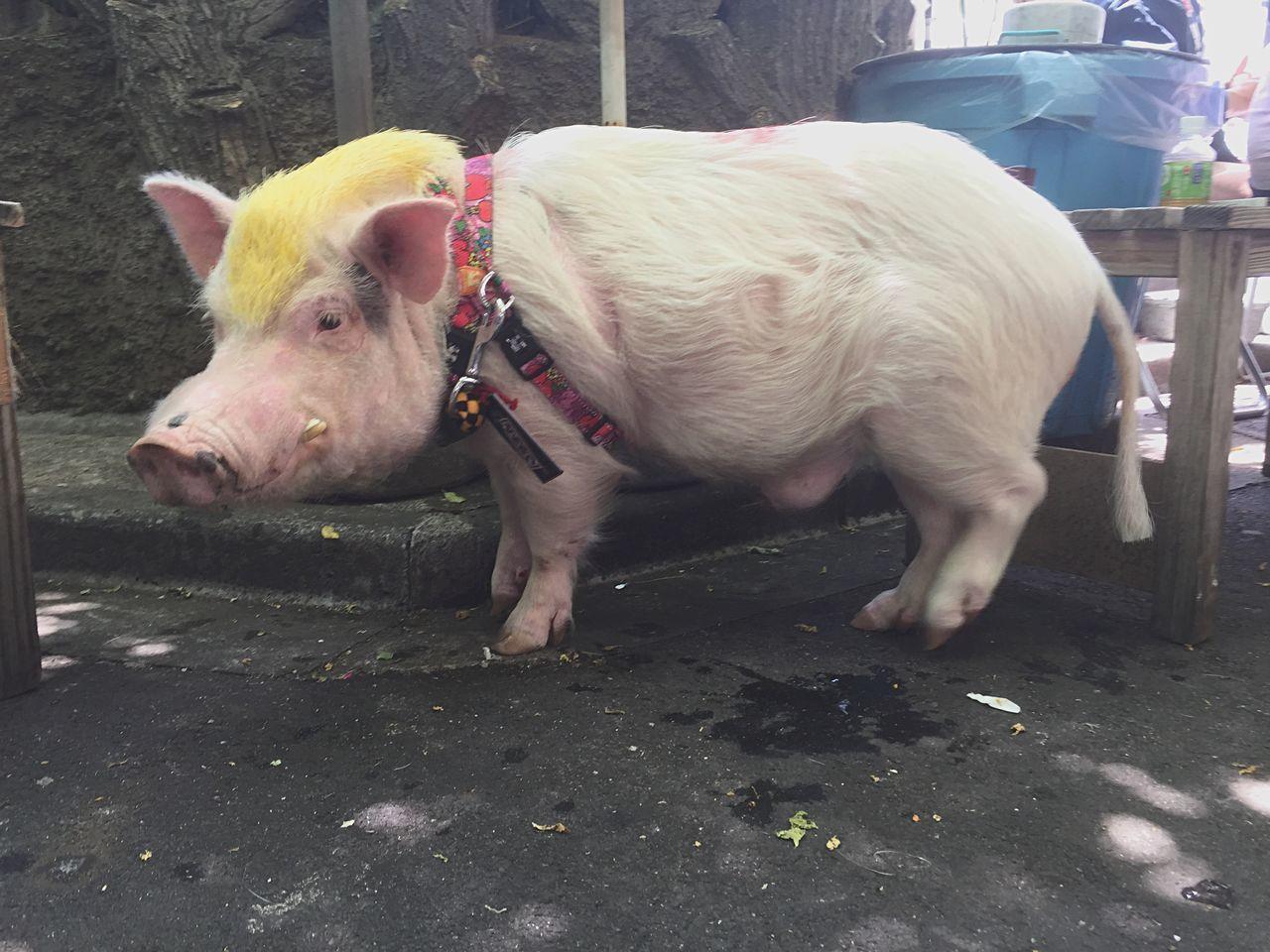 Pig Oink Animals