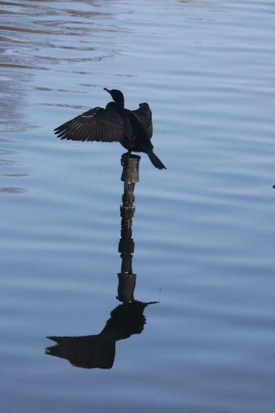 Sur un poteau perché Bird on the Lake Bois De La Cambre Uccle Brussels