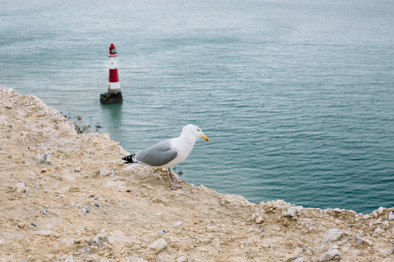 Animal Themes Animal Wildlife Animals In The Wild Beachy Head Bird Brighton Day Great Britain Gull Lighthouse Lighthouse_lovers My Year My View Nature No People Outdoors Sea Sea Bird Seagull Seagulls And Sea Water