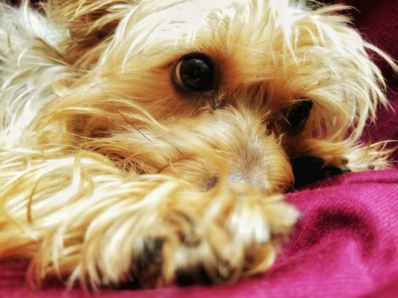 Close-Up Of Yorkshire Terrier Lying On Bed
