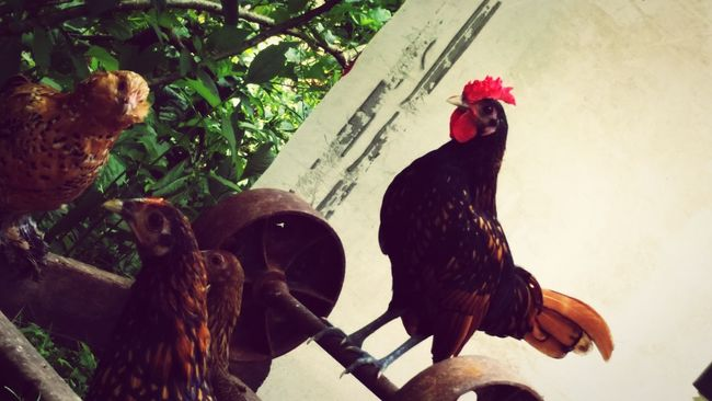 Family❤ Pet Photography  Country Girl Country Life Chicken - Bird Chickens >.< Pet Chickens My Pet Chickens Chicken. Countrylife