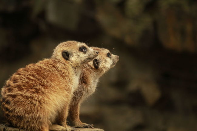 Timon and Friend Wildlife There You Are! Meerkats Zoo Animals  Funny Moments Popular Photo Animal Themes Canonphotography Naturelovers Focus On Foreground Bokehlicious Wild Friendship Check This Out Hello World